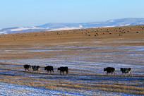 雪原牧场三河牛
