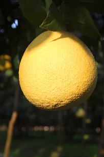 枝头大柚子