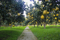 柚子园基地