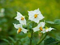 农作物马铃薯白色花朵