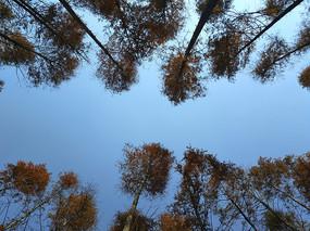 拍摄水杉林