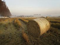 清晨稻田稻草