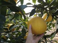 枝头黄皮柚子