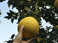 柚子园喜悦采摘