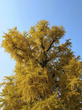 冬日银杏古树