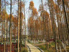 深秋水杉林