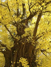 银杏古树沧桑树干