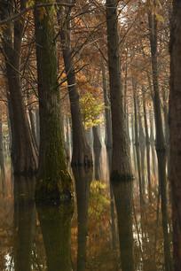 湿地水杉树