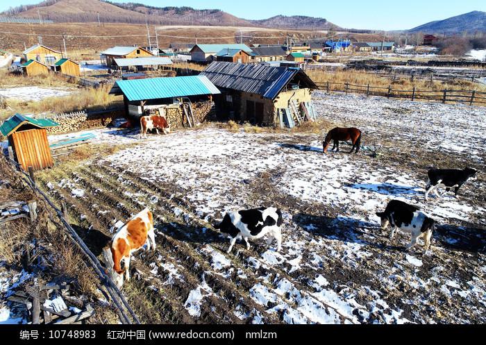 冬季边塞村庄农家院牛群图片