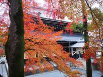枫叶树后面的日本古建筑