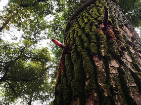 生病的大树