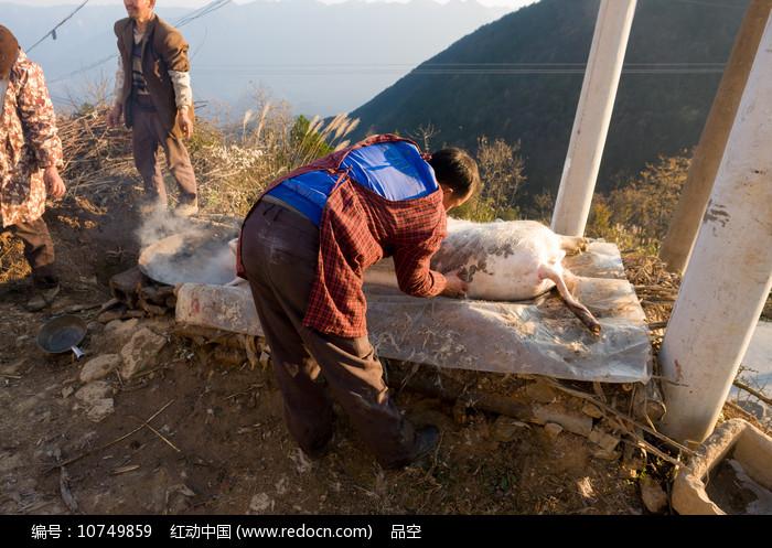 重庆巫山高山农家宰杀过年猪图片
