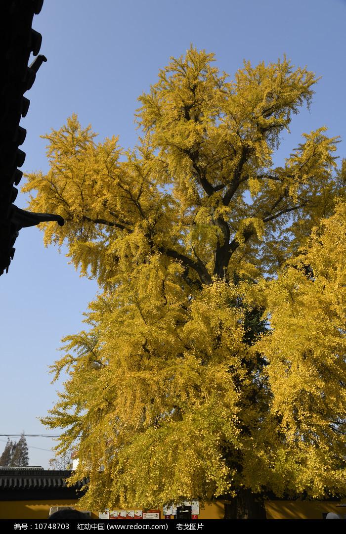参天银杏大树图片