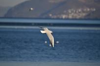 一只飞翔的海鸥