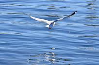 展翅飞翔的海鸥
