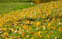 黄色树叶素材