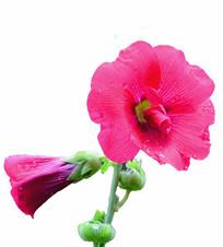 白色背景蜀葵花卉红色花朵