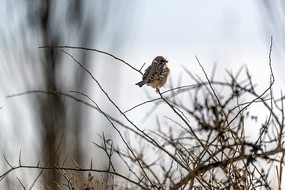一只山麻雀
