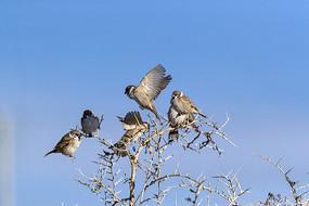 枝头山麻雀