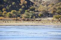 河流旁的蒙古马