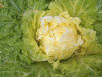 新鲜冬白菜