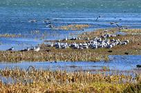 湖泊海鸥风景