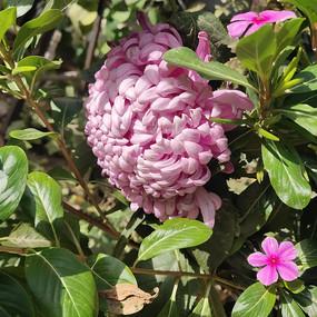 秋季唯美的菊花