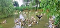 戏水游玩的鹅