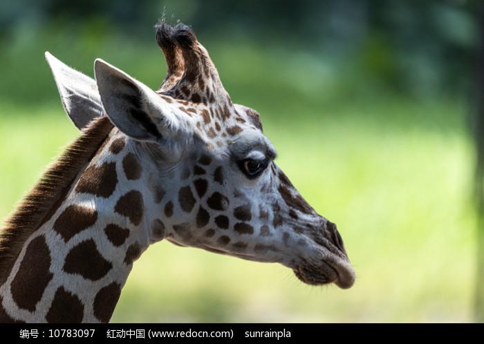 长颈鹿头部特写 图片