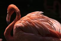 撑起红色羽毛的火烈鸟