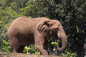 吃草的大象