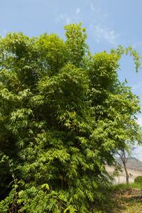 居住小区种植的翠绿色竹林