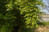 小区一角苍翠的竹林
