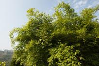 一片浓密的竹林