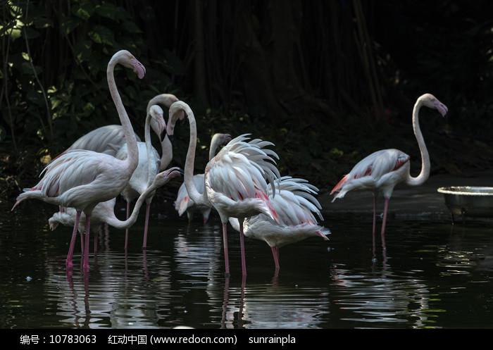 一群白色火烈鸟图片
