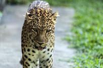 豹子正面图