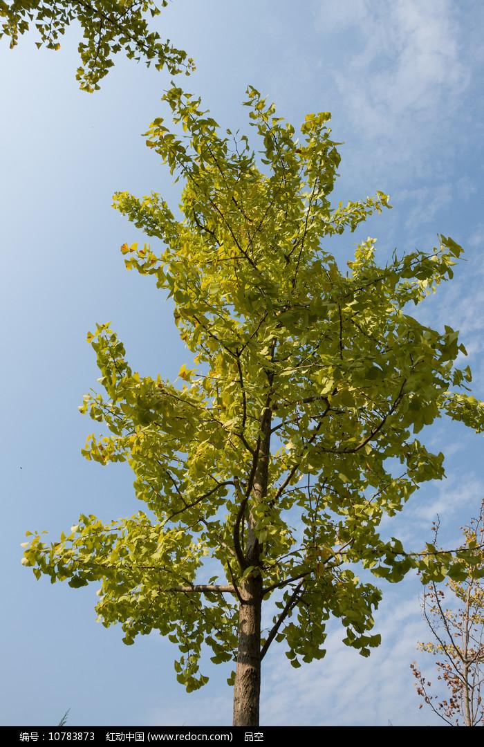 蓝天背景下的银杏树图片