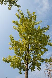 蓝天背景下的银杏树