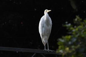 站立的黄嘴白鹭
