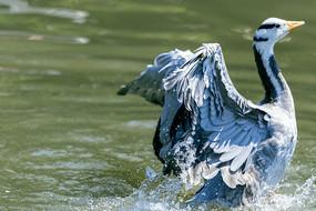 振动翅膀的斑头雁