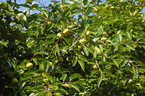 挂满青涩果实的柿子树