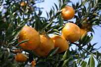 新会大红柑橘子