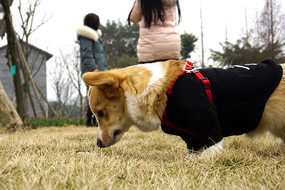 草地玩耍的小型宠物狗-柯基犬