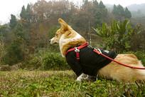 户外草地玩耍的柯基犬