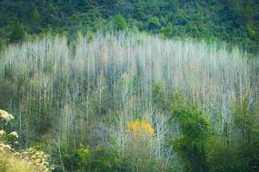 枫树林的秋天