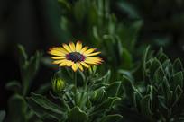 黑心金光菊