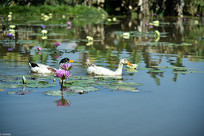 莲花池里的鸭子