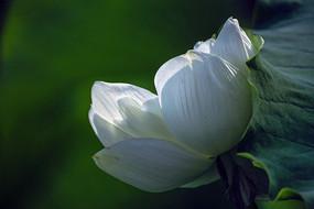 一朵羞涩的白莲