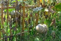 农家菜地里的南瓜