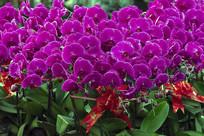 鲜花素材 -一盆玫红蝴蝶兰